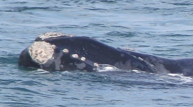 Southern Right Whales - Cape Town